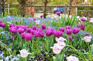 tulipas em Giverny