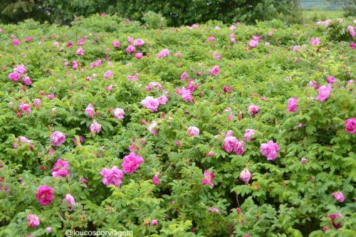 flores na Normandia