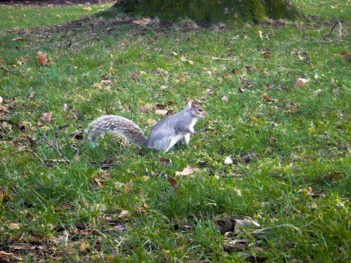 Foto de um esquilo no Hyde Park em Londres