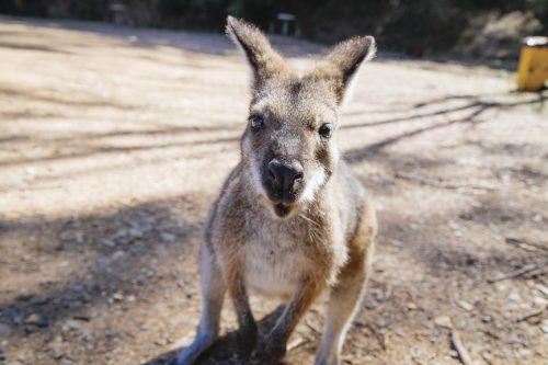 Canguru Australia
