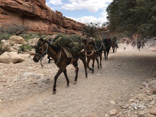 cavalos na trilha para a havasu Fallas