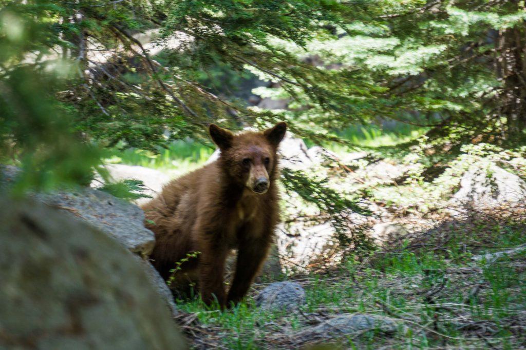 Black bear: urso na california