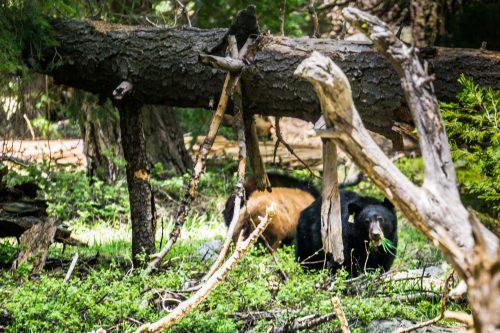 família de ursos no sequoia NP na California
