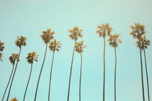 coqueiros em La Jolla