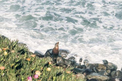 focas em La Jolla